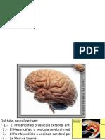 Presentación2 Sistema Nervioso