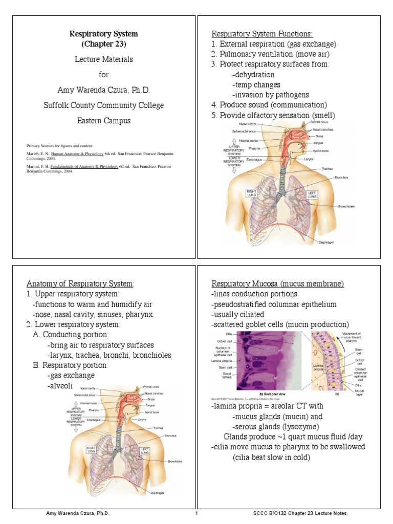 Bio 132 Chapter 23 Notes Respiratory Tract Lung