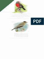 Aves de Chile La Loica y Zorzal