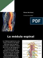 Medula y Plexos