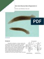 howlocalizationofstemcellsinfluencesrateofregenerationinplanariaflatworms