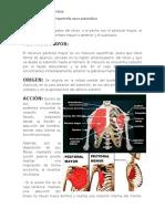 Los Músculos Principales Del Tórax
