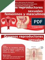 Organos Reproductores Sexuales Masculinos y Femeninos