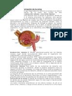 El Proceso de Formación de La Orina Anatomia