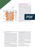 Peran Sel Sertoli pada Spermatogenesis (Fisiologi Manusia - Sherwood)