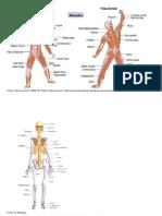 EdFísica Ossos e Musculos