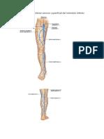Anatomía Vasos de Miembro Inferior