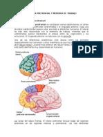 Corteza Prefrontal y Memoria de Trabajo