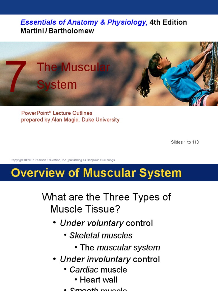 The Muscular System Ch 7   Neuromuscular Junction   Muscle Contraction