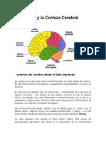 El Cerebro Y La Corteza Cerebral.docx