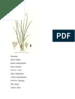 Cultivo de Cebollin(Biodigestor)