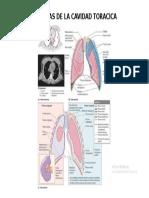 Anato pulmones