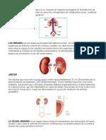 EL SISTEMA URINARIO Humano Es Un Conjunto de Órganos Encargados de La Producción de Orina Mediante La Cual Se Eliminan Los Desechos Nitrogenados Del Metabolismo