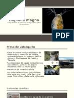 Daphnia Magna 1