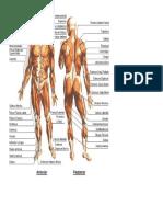 Human Anatomy Muscles