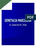 Genetalia Masculina Wk