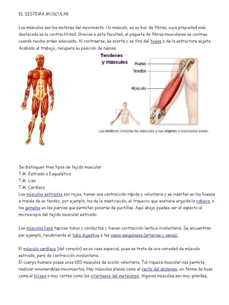 Los Músculos Son Los Motores Del Movimiento