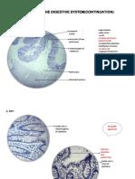 Digestive System cont.pdf