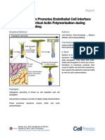 VE CadherinPromotesEndothelial Elongation Actin Cell