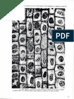 Fases de La División Celular- Células de Cebolla