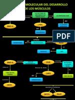 Diapositivas de Embrio Regulacion Molecular