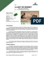 Ficha WALLABY de BENNET _ Macropus Rufogriseus