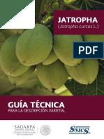 Jatropha
