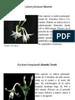 Amaryllidaceas.pdf