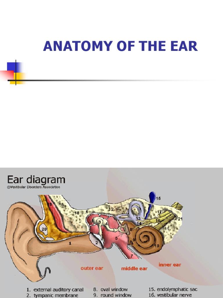 Anatomy Ear | Ear | Auditory System