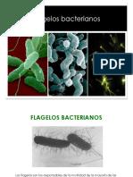 7cFlagelo_26752