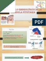 Desarrollo Embriológico de La Hipofisis