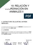 TEMA 10- RELACIÓN Y COORDIACIÓN EN ANIMALES II
