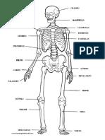 esqueleto_humano.pdf