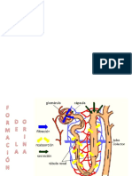 Formacion de La Orina Fisiologia