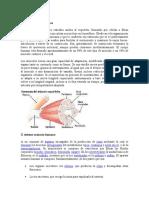 Los musculos esqueleticos, urinario.docx