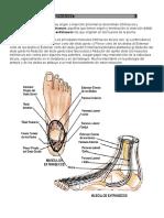 Músculos del pié.docx