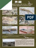 Lagartijas de Ica-Lizards of Ica (Perú)