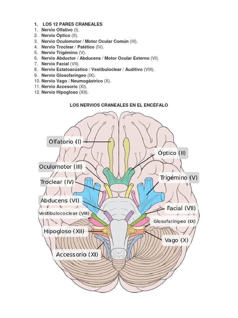 Dorable Octavo Nervio Craneal Fotos - Imágenes de Anatomía Humana ...