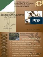 Sargassum fusiforme