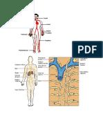 Arteria Linfatico