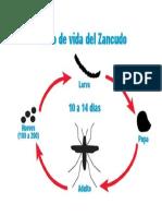 Ciclo Del Zancudo