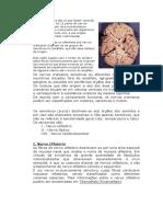 Nervos cranianos são os que fazem conexão com o encéfalo.docx
