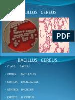 8 Bacillus Cereus