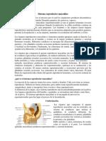 Sistema Reproductor Masculino. Informe
