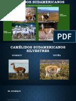 Camélidos-sudamericanos