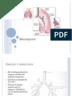 Anatomía de Bronquios