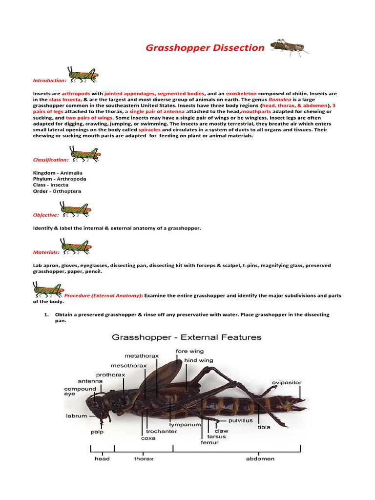 Grasshopper Dissection | Insects | Arthropods