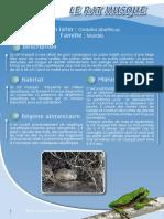 Rat musque - Fiche péda Eau & Rivières de Bretagne