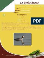 Grèbe huppé - Fiche péda Eau & Rivières de Bretagne