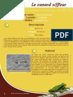 Canard Siffleur - Fiche péda Eau & Rivières de Bretagne